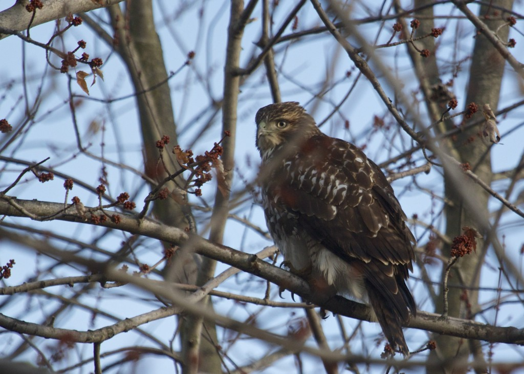 Red-tailed Hawks everywhere this weekend, and this is the best I could do. Sad really. This bird was out at Indian Road on 12/7/13.