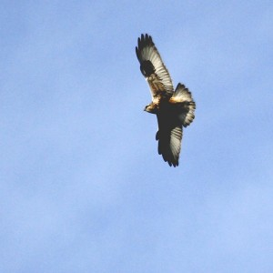 Rough-legged Hawk at Skinner Lane on 12/7/13. I hope this bird sticks around, I would love to get a good shot...