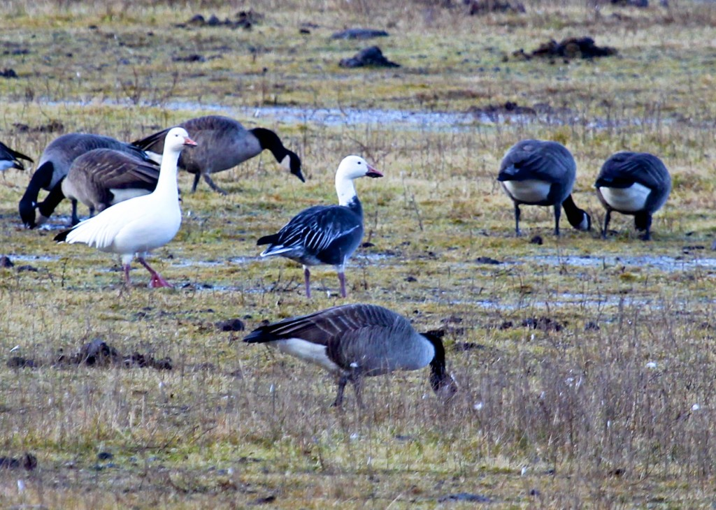 Two of nine Snow Geese at the Camel Farm on 12/7/13.
