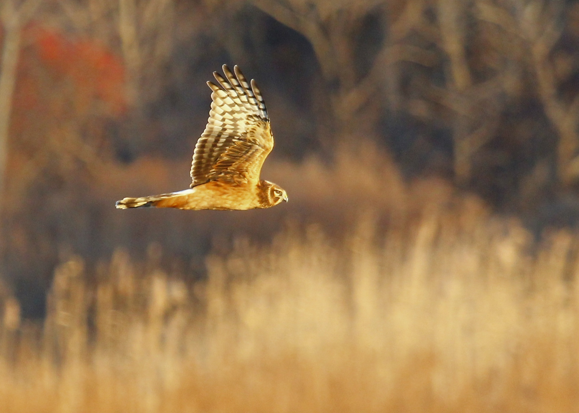 During the survey I did not get any owl shots - it was too dark and the birds too distant. I did get this Northern Harrier out at Wallkill River NWR on 12/7/13.