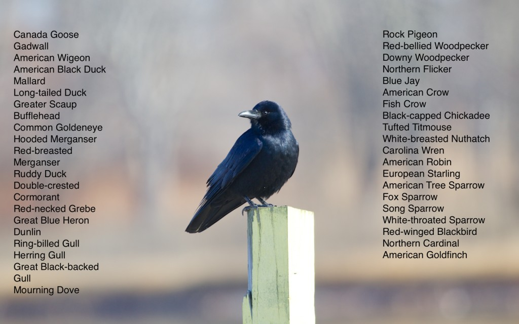 Here is my species list for the day, along with what I have as a Fish Crow. This ID is based on hearing the call. I heard American Crows as well, so I'm not 100% that this is individual is a Fish Crow. Read Wildlife Sanctuary, 12/31/13.