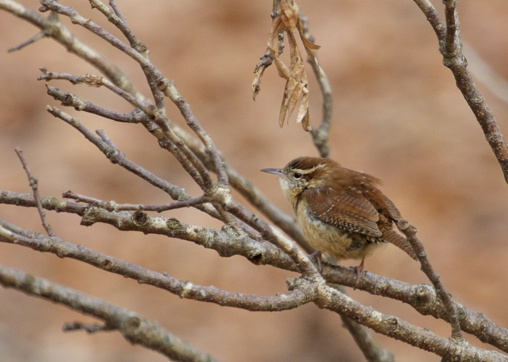 Carolina Wren at the Marshlands Conservancy, 12/31/13. One of the six I had for the day.
