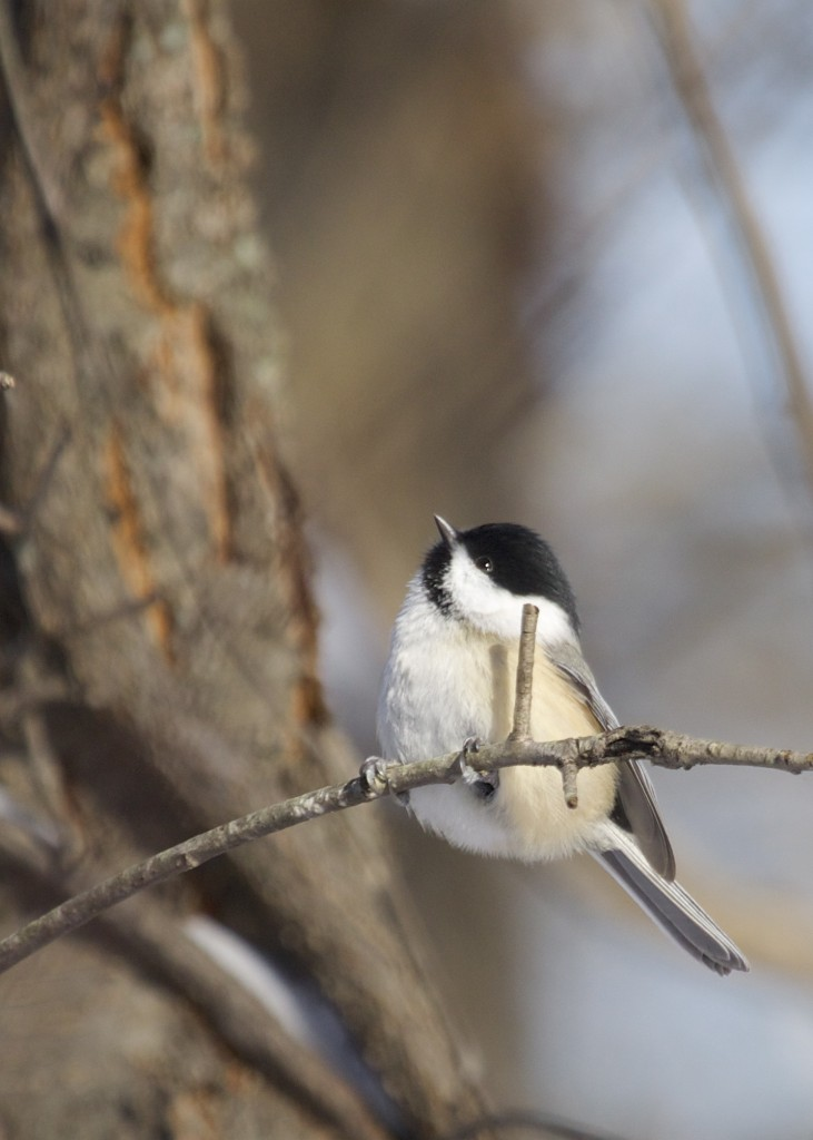 Black-capped Chickadee on the Heritage Trail at 6 1/2 Station Road Sanctuary, 1/3/14.