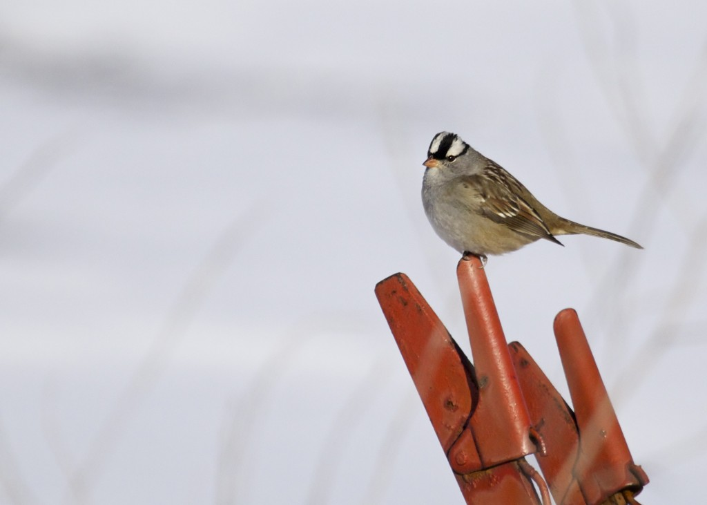 White-crowned Sparrow on farm equipment out at Skinner Lane, 1/4/14.