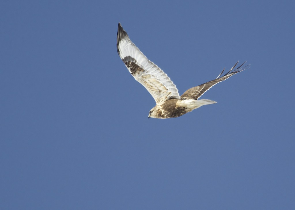 This was my best shot of a Rough-legged Hawk today, this one was at Round Hill Road, 1/4/14.