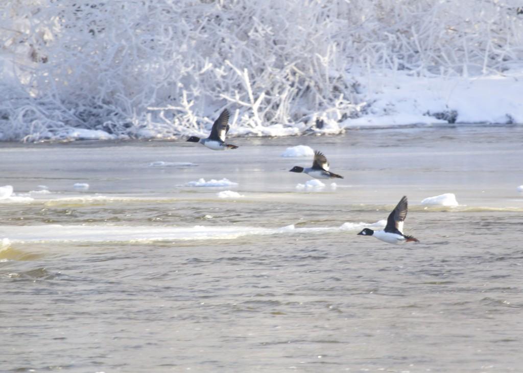 Common Goldeneyes in flight, Lippincott Road, Wallkill NY, 1/5/14.