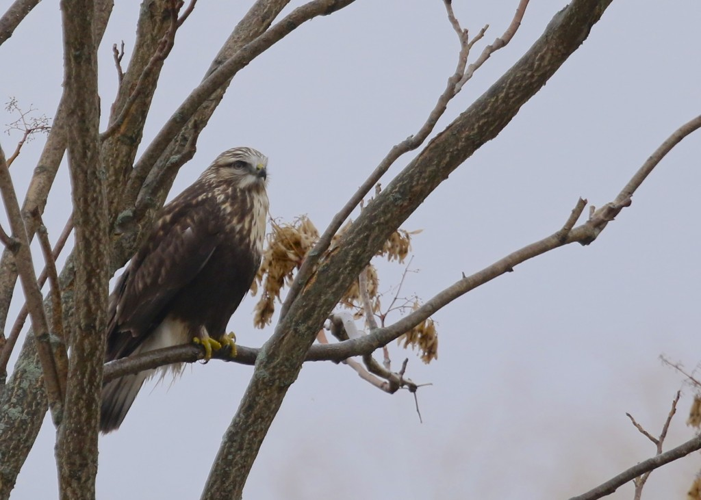Rough-legged Hawk on a foggy and rainy Saturday morning. Jessup Switch Road in Goshen, 1/11/14.
