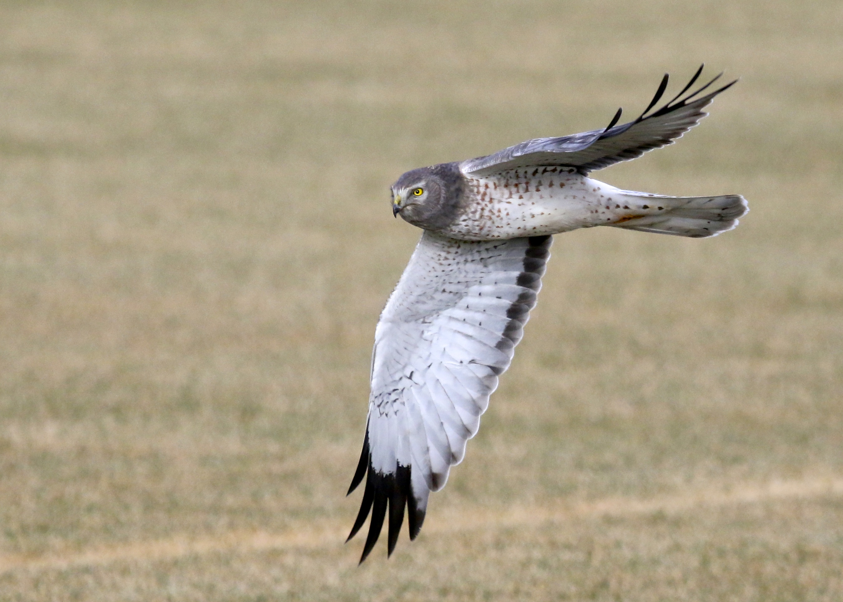 Male Northern Harrier on Missionland Road, 1/12/14.