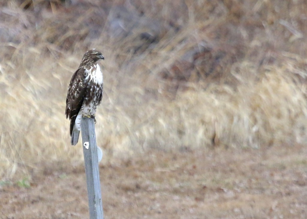 I love the markings on this Red-tailed Hawk, seen on Skinner Lane, 1/12/14.