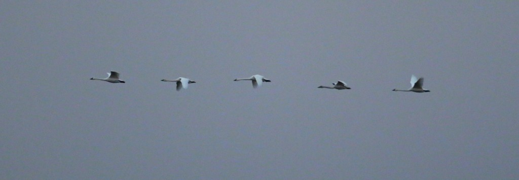 Five Tundra Swans did a fly-over at the Wallkill River NWR while I was walking the Liberty Loop today (1/15/14).