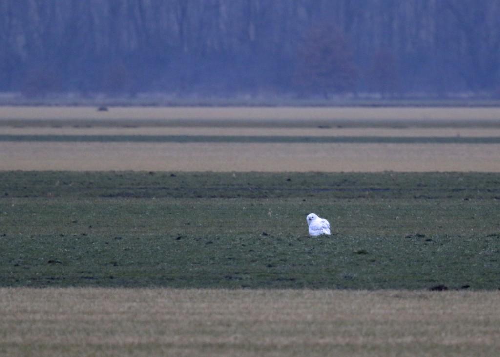 SNOWY OWL in the Black Dirt Region, Orange County NY, 1/16/14.