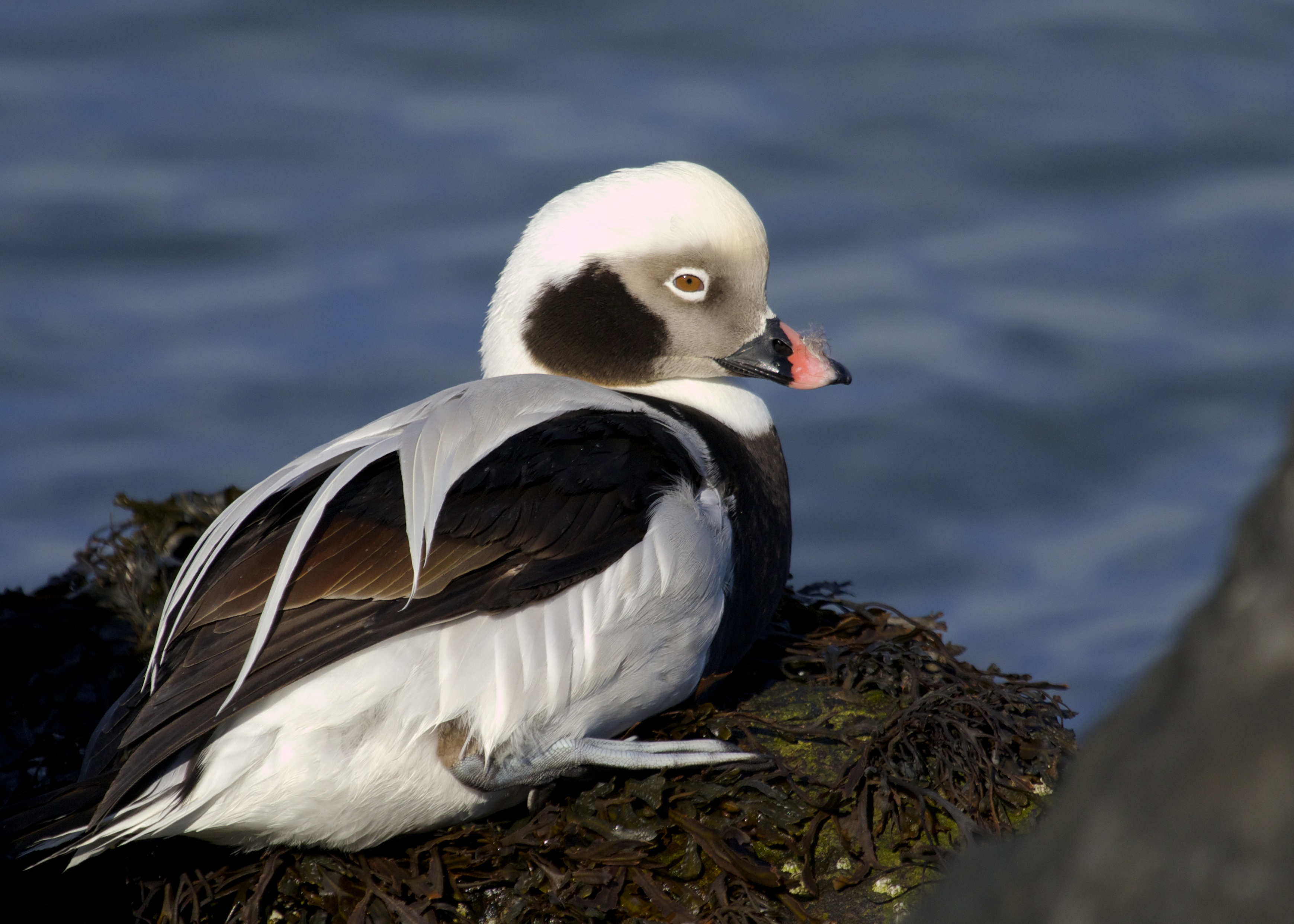 Long-tailed Duck at Barnegat Lighthouse State Park, 1/19/14.