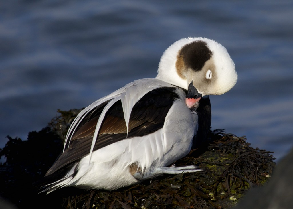 I can't get enough of these Long-tailed Ducks. Definitely the cutest duck out there. Barnegat Lighthouse State Park, 1/19/14.