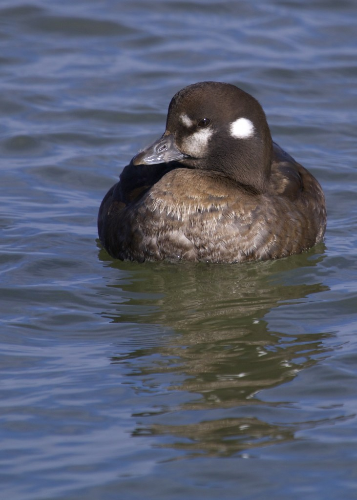 Here's a nice look at female Harlequin Duck, Barnegat Lighthouse State Park, 1/19/14.