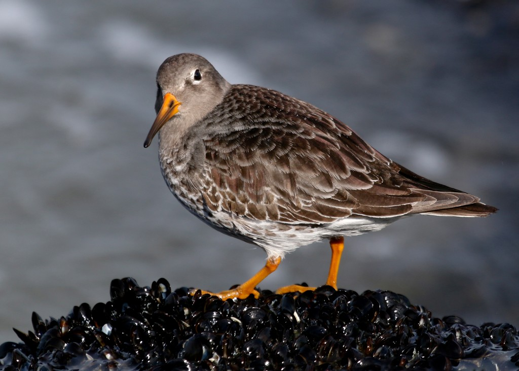 It was great to finally get the Purple Sandpipers. Barnegat Lighthouse State Park, 1/19/14.