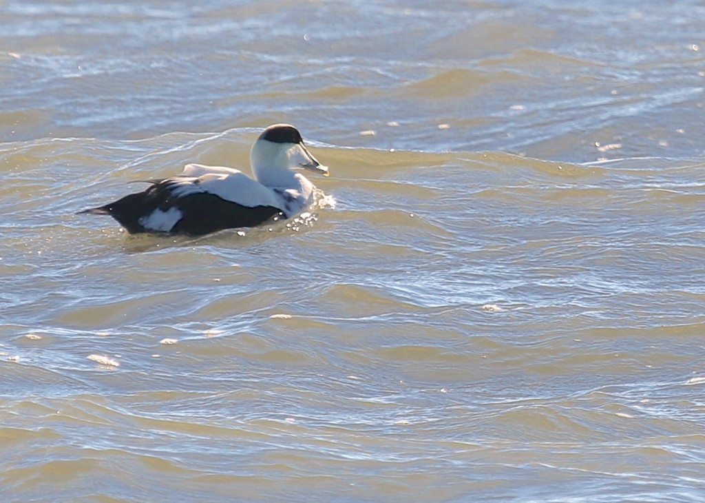 I was fighting a backlit situation for this Common Eider, so not a great shot, but what an interesting duck.