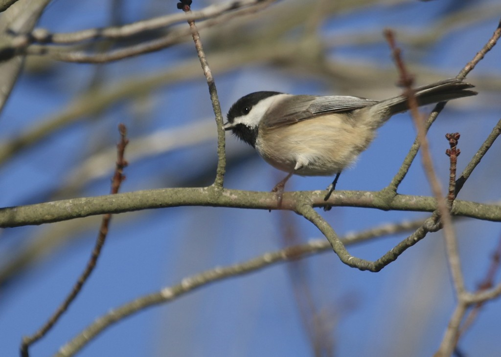 """My life Carolina Chickadee, at Manahawkin Wildlife Management Area. While it looks very much like our Black-capped Chickadee, there are some differences, the most notable being their call. It is the same """"chick-a-dee-dee-dee"""" but much more rapid than the Black-capped Chickadee."""