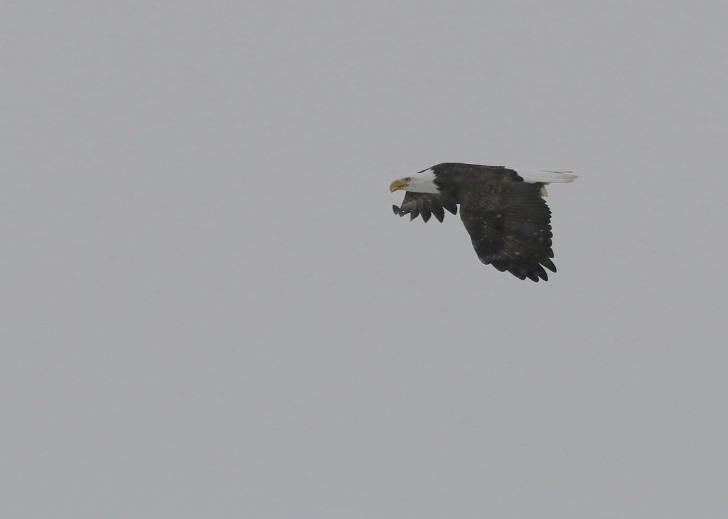 Bald Eagle in the snow, 1/25/14.