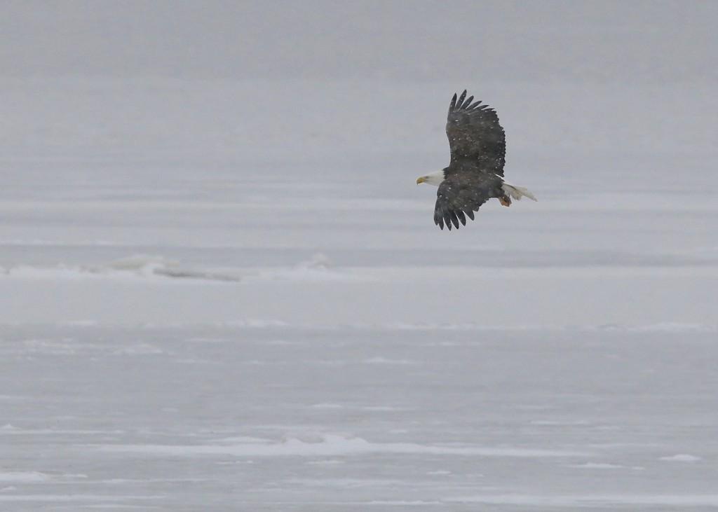 Bald Eagle at Point Pier Park, 1/25/14.
