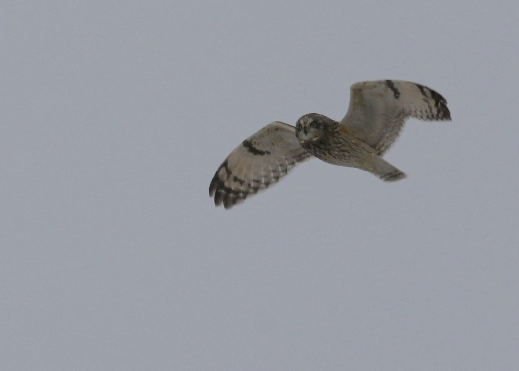This is the first half way decent Short-eared Owl Shot I've gotten since early in the season. This was tough - there was enough light for good photos, but the snow was falling pretty heavily. SEOW, Orange County NY 1/25/14.