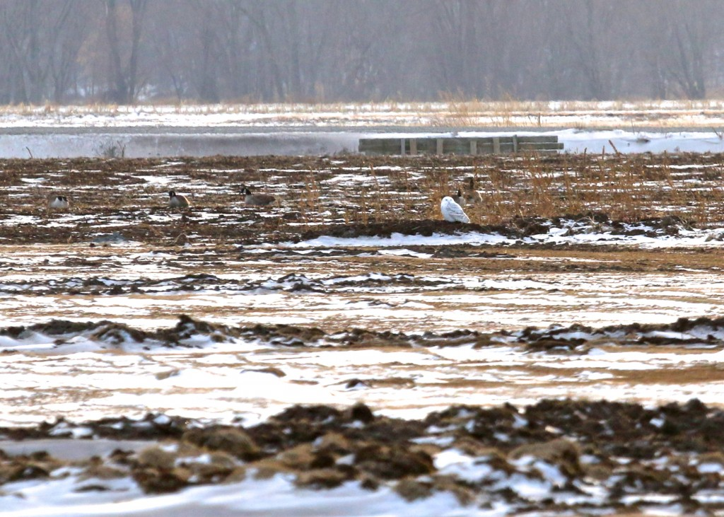 Snowy Owl in the Black Dirt Region, 1/28/14.