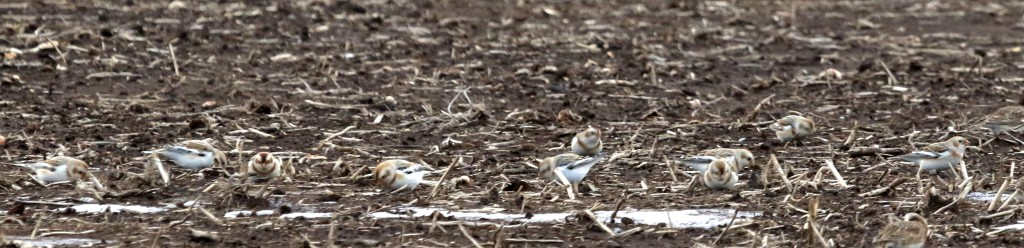 Ten Snow Buntings in the Black Dirt Region, 1/28/14.