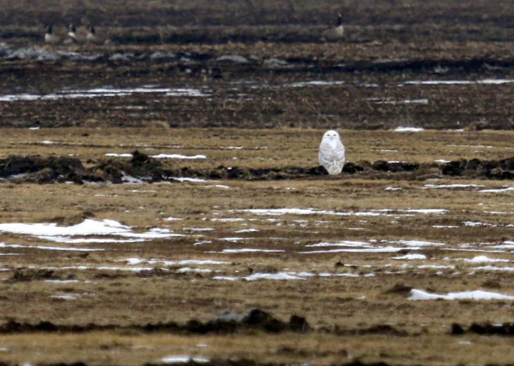 I saw this bird four out of five evenings this week. So awesome to see. Snowy Owl, Orange County 1/31/14.