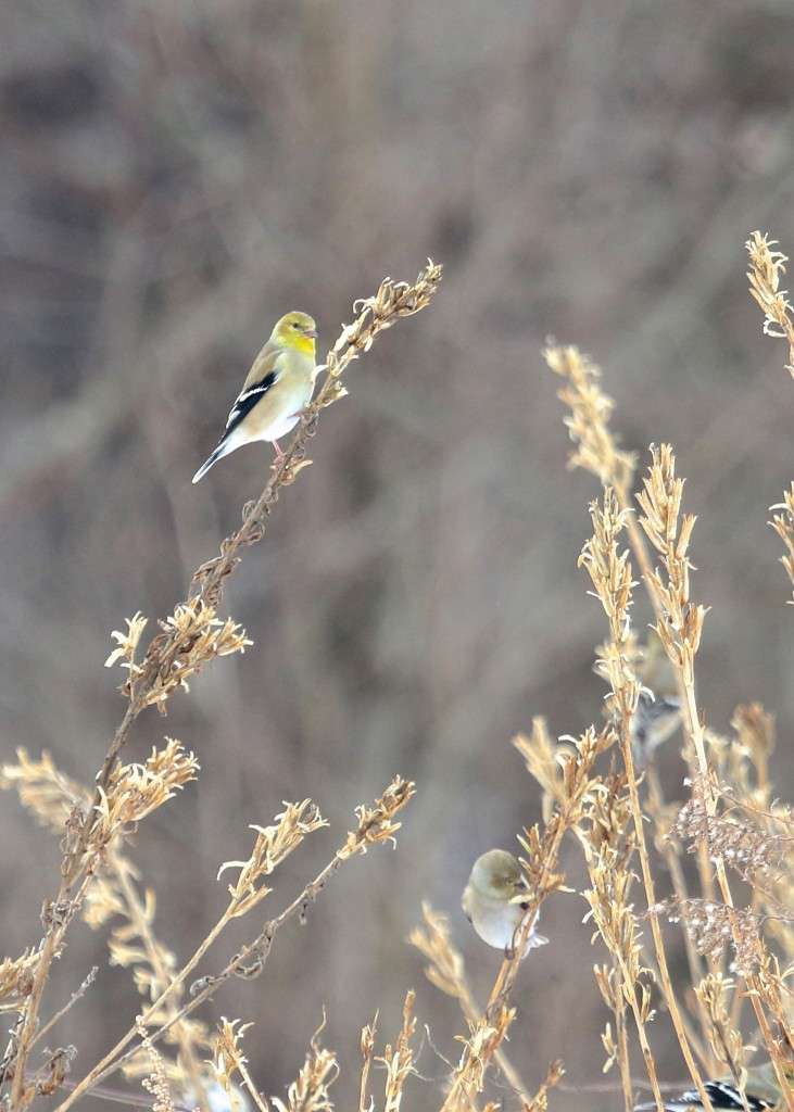 I haven't seen any American Goldfinches in a while, so it was good to see a flock of 25 or so at the Deli Fields. Bashakill WMA 2/2/14.