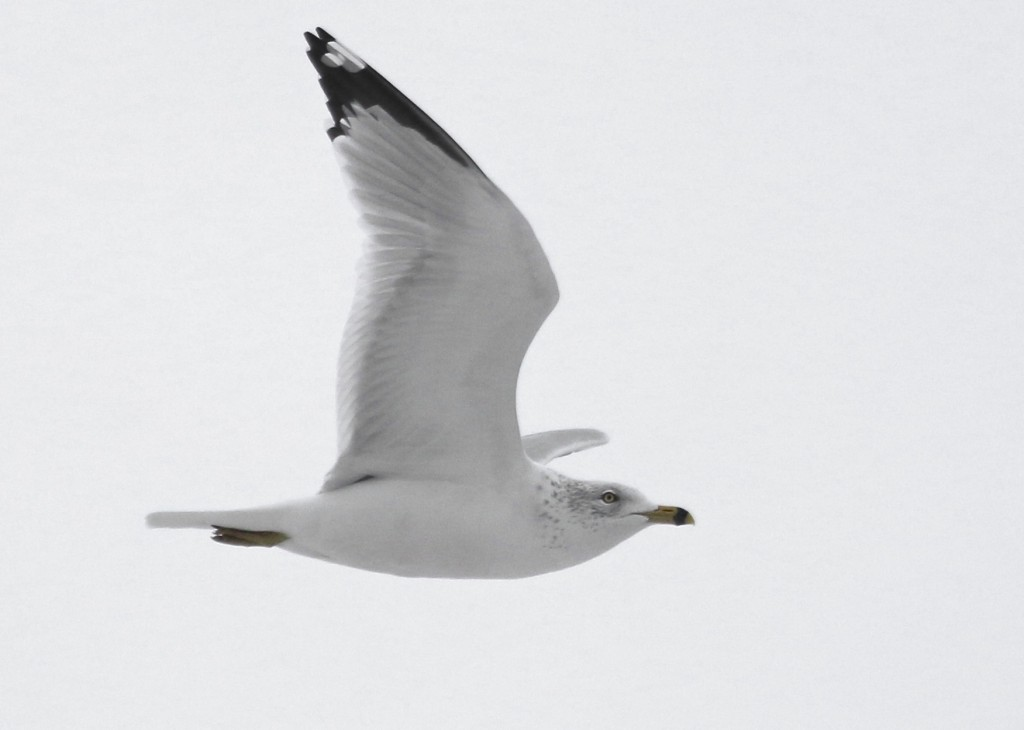 If you've seen the winners from Audubon Magazine's Photography Awards, you know why I've been enjoying shooting birds on these stark backgrounds. I never really liked it much, but now it is appealing to me. Ring-billed Gull at Haven Road, Bashakill WMA, 2/2/14.