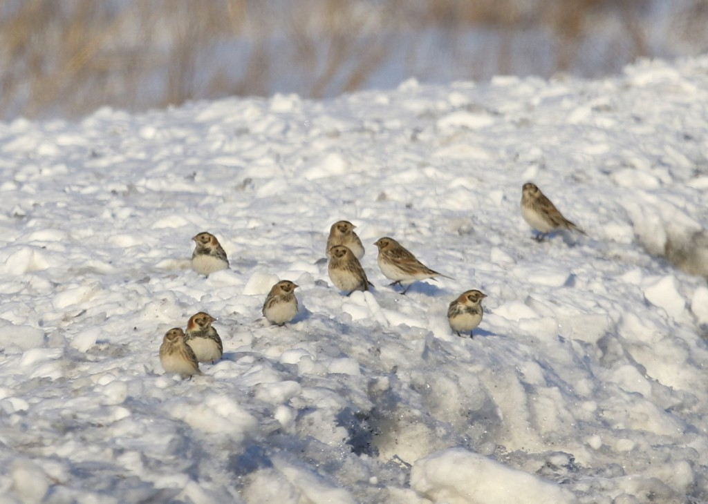 Nine of at least 12 (!!!) LAPLAND LONGSPURS, Pine Island 2/7/14.