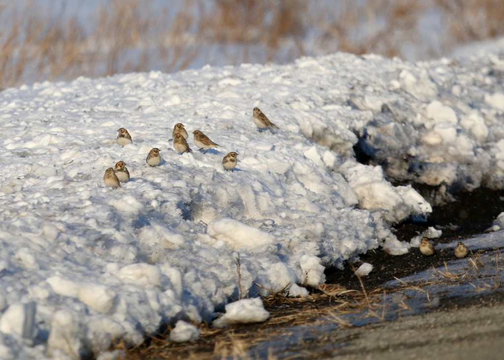 Here's the top photo with less of a crop - showing 12 Lapland Longspurs in one shot. Pine Island NY, 2/7/14.