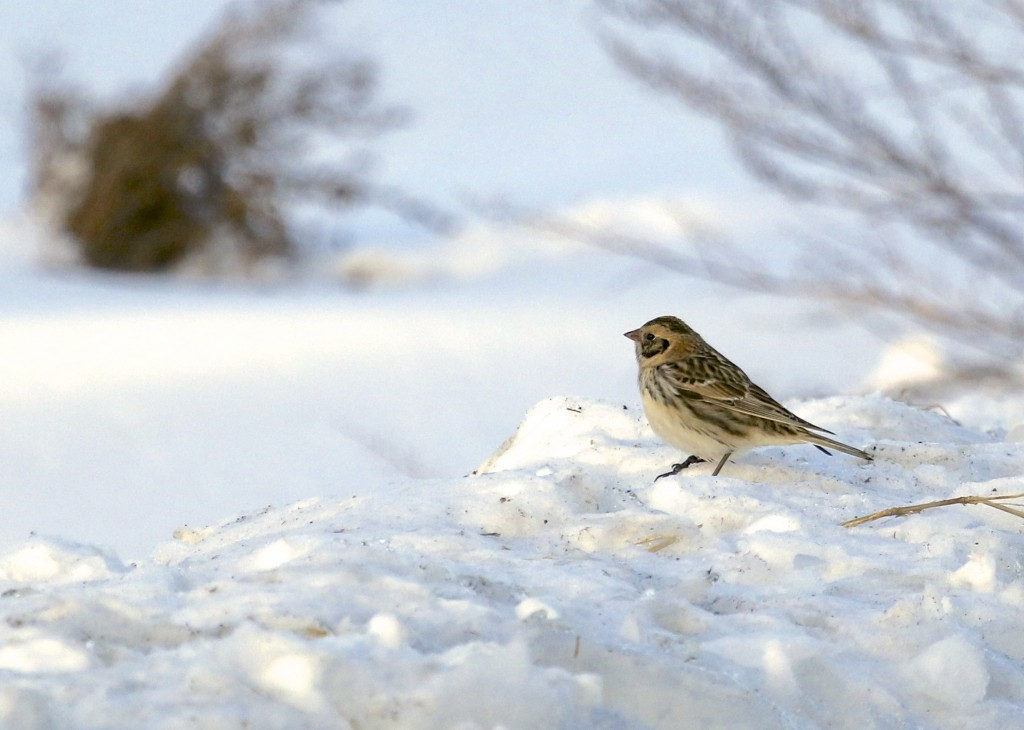 Lapland Longspur in the snow, Pine Island NY 2/7/14.