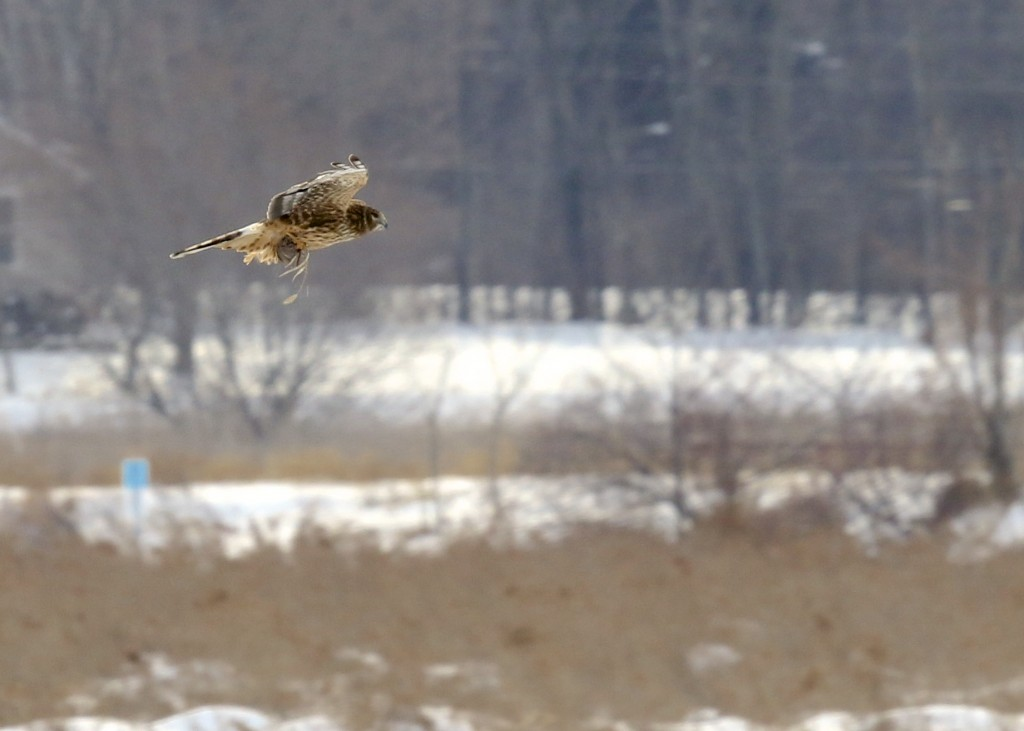 This not much of a photo, but it was fascinating to watch this Northern Harrier successfully hunt. Winding Waters Nature Trail, 2/8/14.