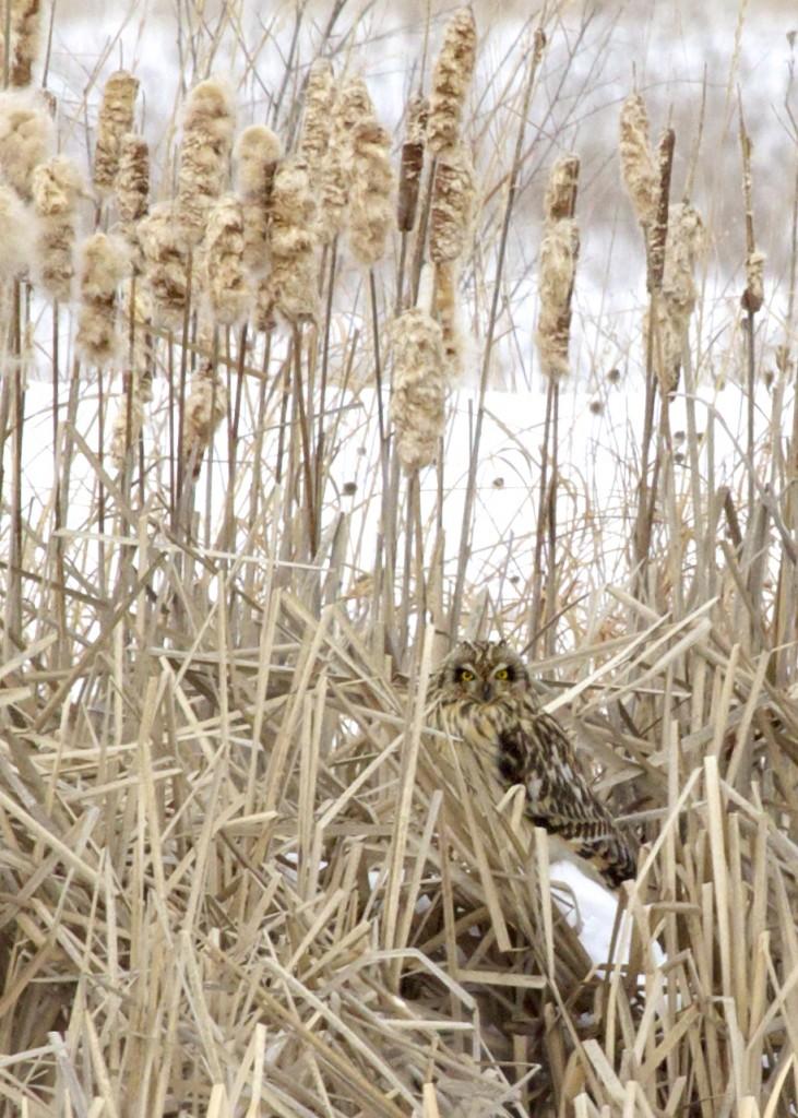 A Short-eared Owl at Shawangunk Grasslands NWR, 2/9/14.