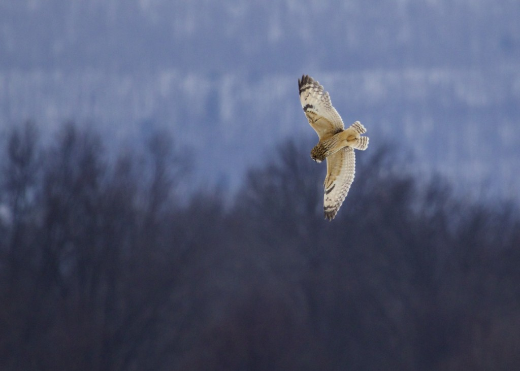 Short-eared Owl hunting at the Shawangunk Grasslands NWR, 2/9/14.