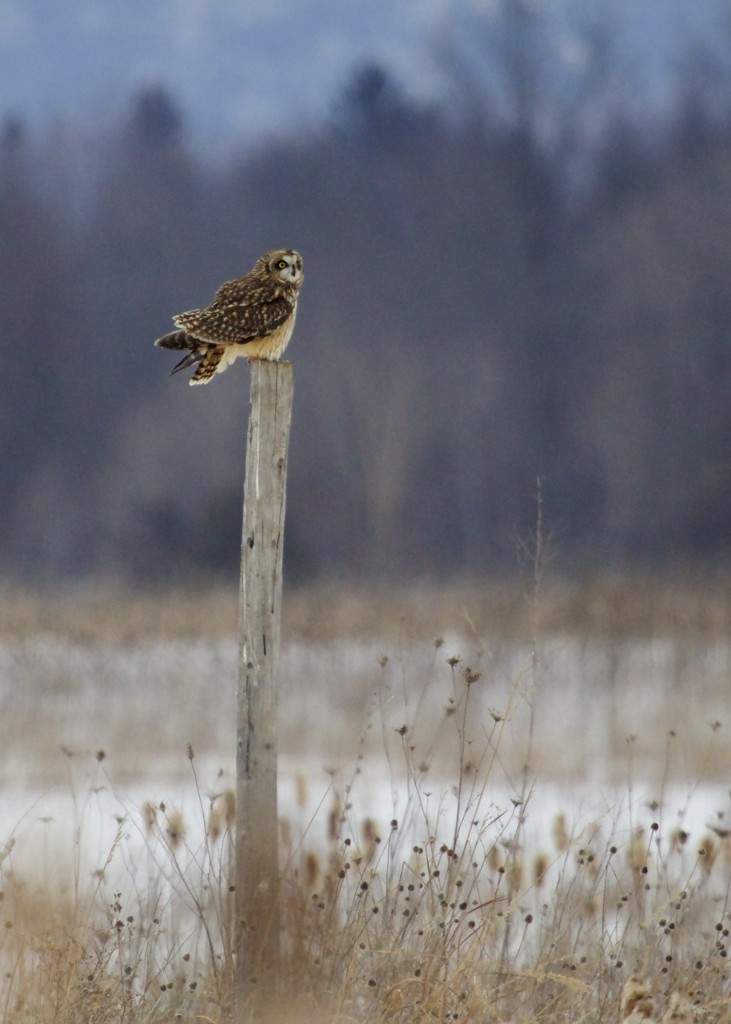 Thanks to Ralph for putting this post up in front of the blind - the owls love it. Short-eared Owl at Shawangunk Grasslands NWR, 2/9/14.