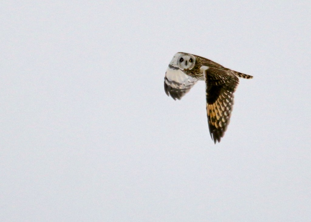Short-eared Owl at Wallkill River National Wildlife Refuge, 2/12/14.