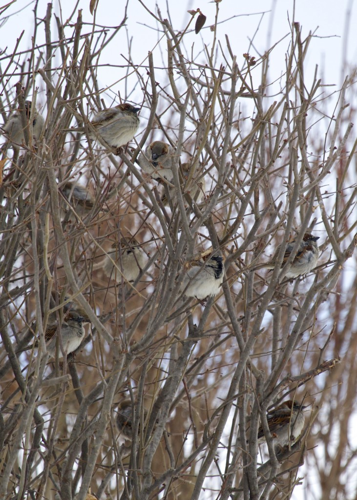 House Sparrows on Celery Avenue, 2/15/14.