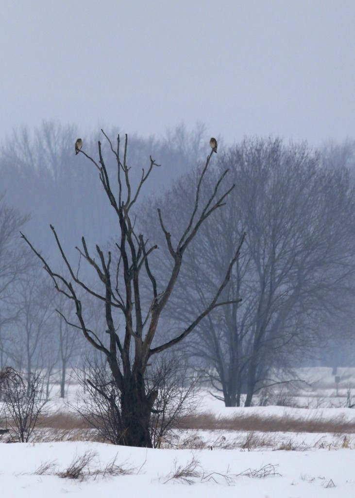 A pair of SEOWs perched in the distance at Wallkill River NWR, 2/19/14.