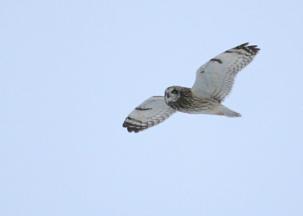 A SEOW does a fly-by at the Wallkill River NWR, 2/19/14.