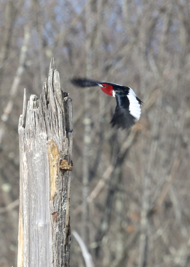 I kept waiting to try to get flight photos of the bird. This is the best I could do. RHWO in Ulster County NY 2/22/14.