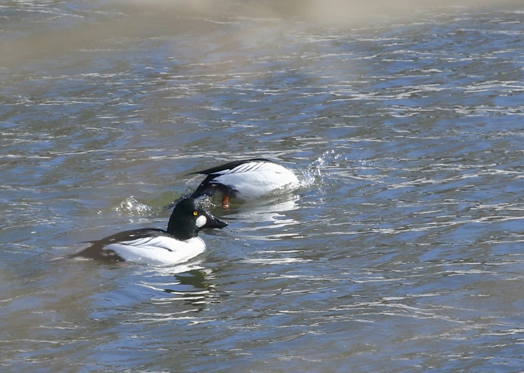 These Common Goldeneyes are very sensitive. As soon as my car slowed down they were moving out. This is the best shot I could muster through the trees. Lippincott Road, 2/22/14.