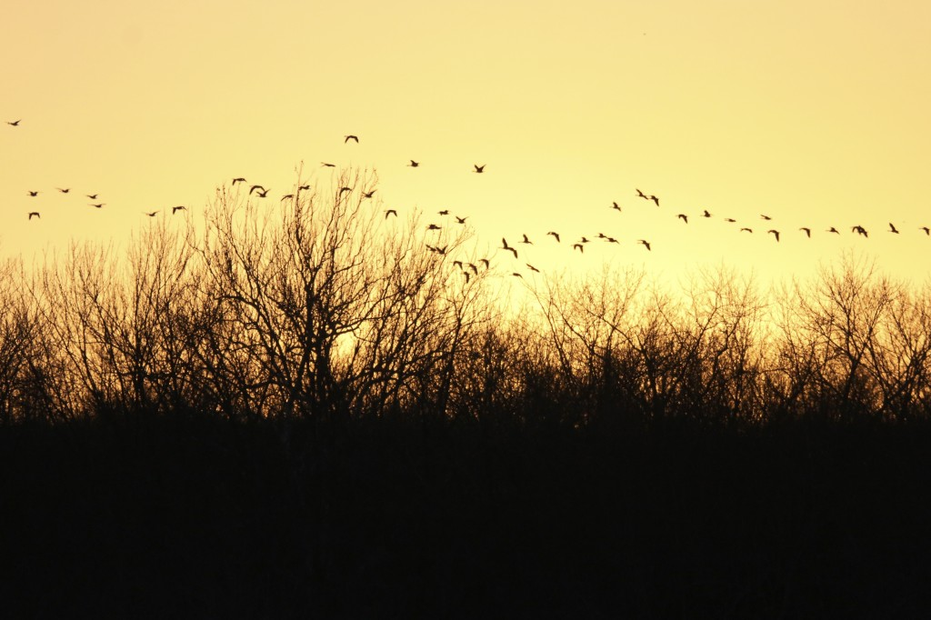 Canada Geese in an awesome sunset at Wallkill River NWR, 2/22/14.