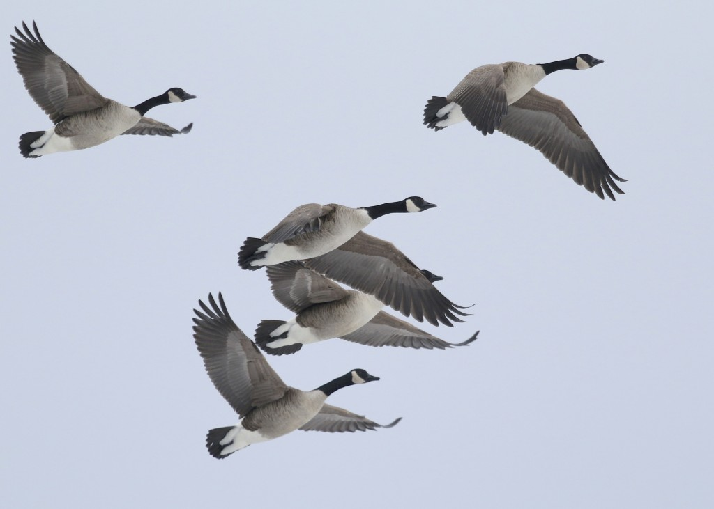 I sorted through many Canada Geese today without finding anything out of the ordinary. CANG flyover in Orange County NY, 2/23/14.