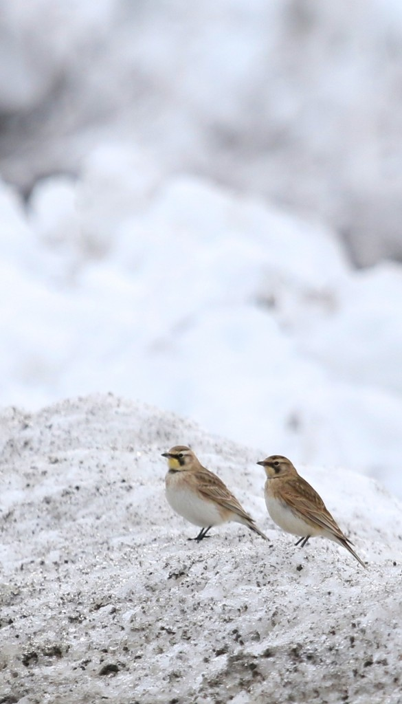 Horned Larks in New Hampton NY, 2/23/14.