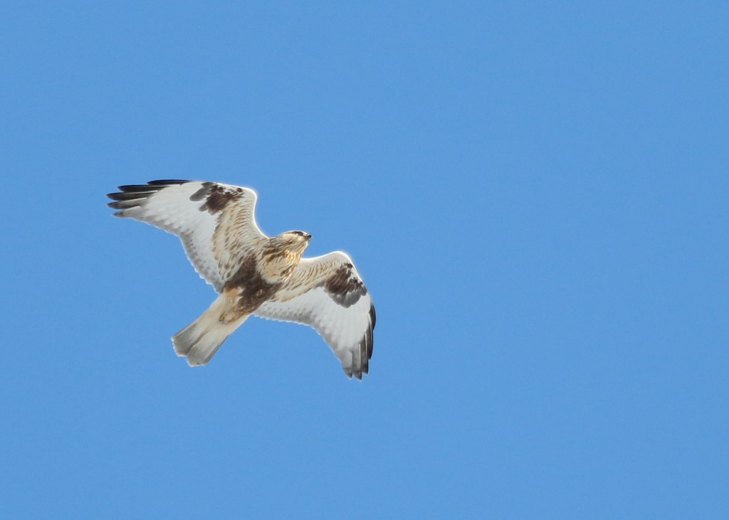 After the terrible light in all of yesterday's photos, I was really hoping to get a shot today. It was a beautiful, crisp, winter day with some nice light. I was fortunate enough to have this Rough-legged Hawk fly directly over. Wallkill River NWR, 2/24/14