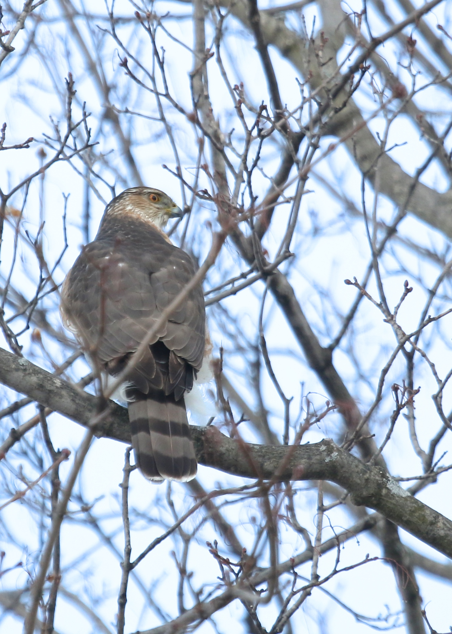 Cooper's Hawk in Ulster Park NY, 2/27/14.