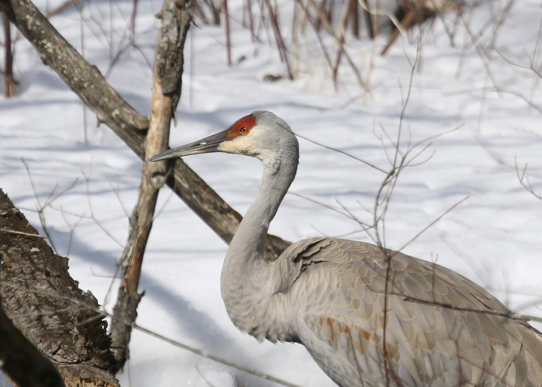 I was so happy to be able to see these birds today. One of two Sandhill Cranes in Ulster Park NY, 2/26/14.
