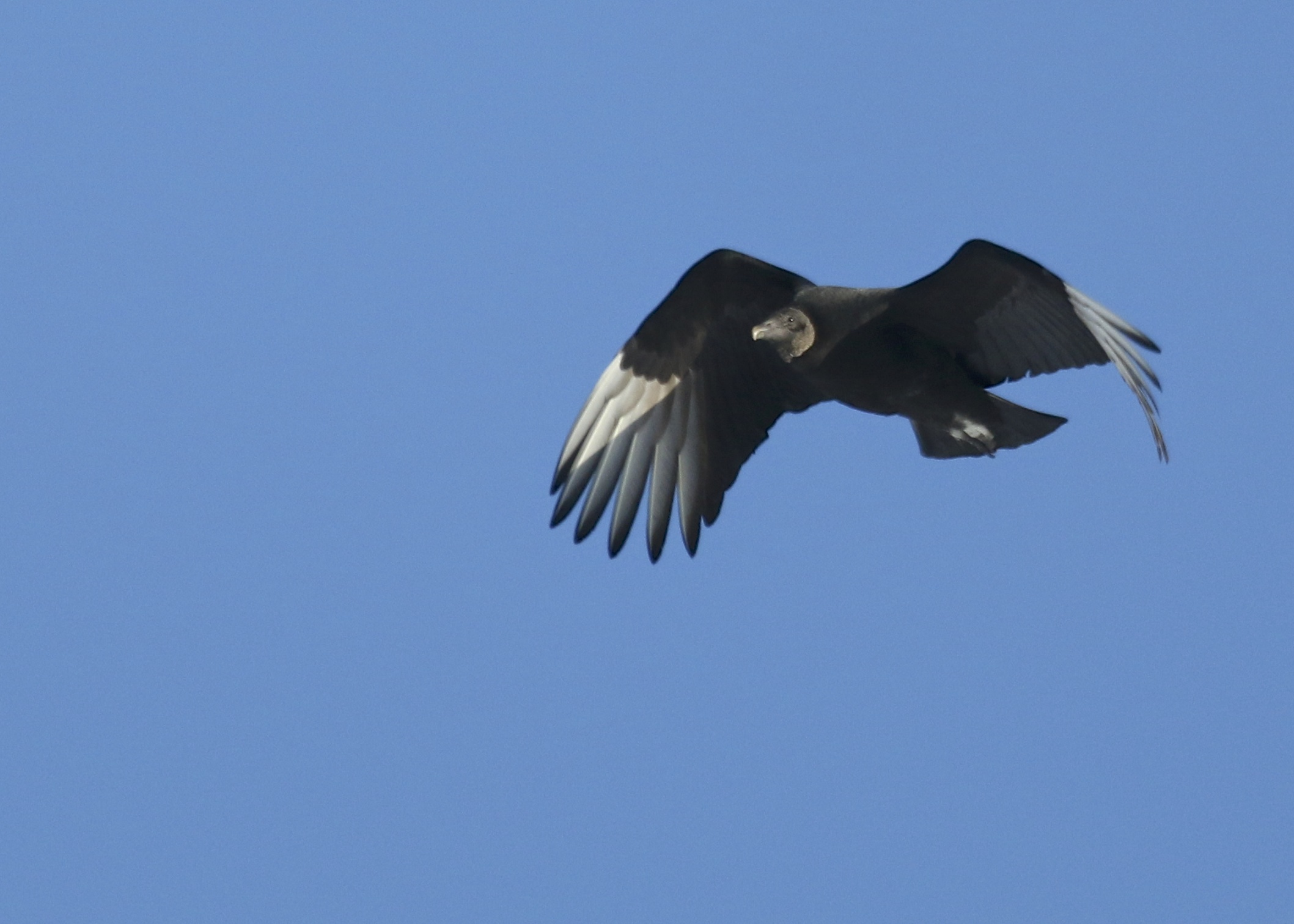Black Vulture NOT from the grasslands, but rather in New Hampton NY, 1/27/14.