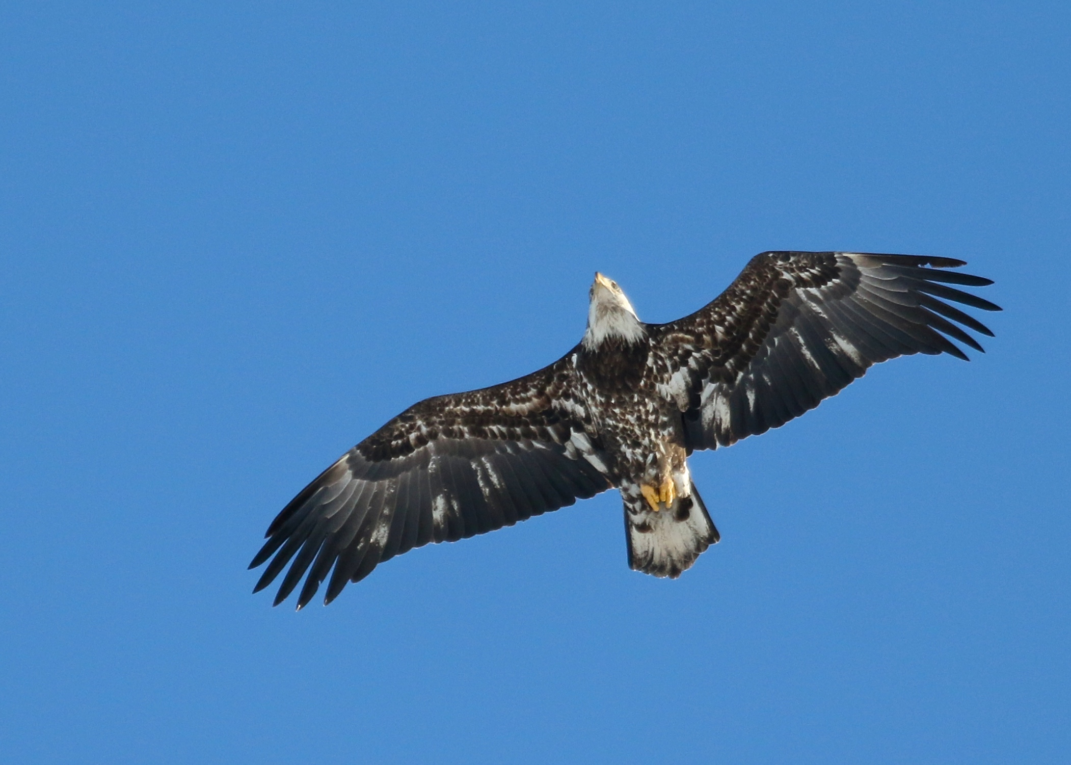 Immature (but not for much longer) Bald Eagle in New Hampton NY, 2/27/14.